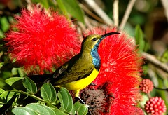 Yellow-bellied Sunbird (Nectarinia jugularis) (beeater) Tags: yellow bellied sunbird nectarinia olivebackedsunbird cinnyrisjugularis top20birdshots jugularis nectariniajugularis specanimal ybsb