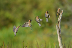 Cedar Waxwing (Bombycilla cedrorum) Landing (TrombaMarina) Tags: flight landing montage cedarwaxwing bombycillacedrorum 2xp rented400mm 2xteleextender bestnaturetnc07 photocontesttnc08