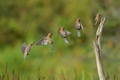 Cedar Waxwing (Bombycilla cedrorum) Landing - by TrombaMarina