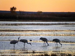 A Bosque Chorus Line (Fort Photo) Tags: newmexico bird nature birds animal sunrise landscape nikon bravo crane wildlife birding 2006 aves cranes bosque ave nm migration waterfowl ornithology digiscoping bosquedelapache avian sandhillcrane 4500 wildbird featheryfriday birdphoto
