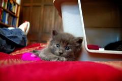 (gillianleigh) Tags: love grey kittens goose foster kitties warmfuzzy