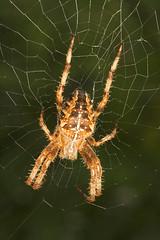 "Garden Cross Spider (Araneus diademat(6) • <a style=""font-size:0.8em;"" href=""http://www.flickr.com/photos/57024565@N00/236858363/"" target=""_blank"">View on Flickr</a>"