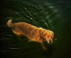 Baskerville (aistora) Tags: dog lake water swimming dark golden scary eyes glow flash ghost retriever horror oldphoto redeye stick glowing maestro fetch oldcamera retrieve baskerville maistora editedforlevelsandnoise ilobsterit