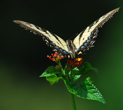 Butterfly on Red, Orange and Green (ozoni11) Tags: flowers flower macro nature animal animals butterfly insect wings bokeh wing butterflies insects nectar pollen proboscis interestingness191 i500 animaladdiction abigfave