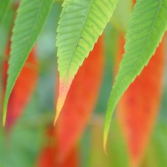 autumn leaves (jude) Tags: autumn red orange plant macro green nature leaves closeup square bokeh 2006 explore jude judith straight squared meskill judithmeskill firstquality interestingness20 twtme abigfave highestposition20onsaturdayseptember302006 naturesquare 30faves30comments300views musicaltitle 50faves50comments500views judeonflickr