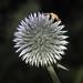 Globe Thistle (Echinops)