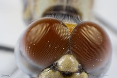 Extreme Close-up!!!!! (Nomad Saleh) Tags: closeup insect dragonfly egypt nomad 5x mpe65mm