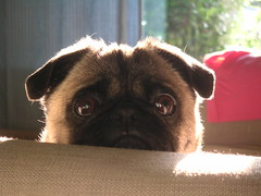 Pug on Couch (Dunechaser) Tags: dog pets cute dogs animals pug  pugs    canines pugsly