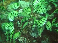 manini school eating (bluewavechris) Tags: ocean life school sea fish black water animals yellow hawaii underwater small stripe diving maui snorkeling reef creatures
