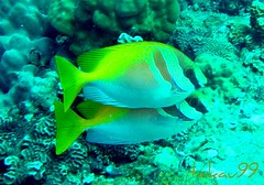 Double-Barred Rabbitfishes at Green Rock, Thailand (_takau99) Tags: ocean trip travel sea vacation holiday fish macro uw nature water topv111 thailand nikon marine asia southeastasia underwater dive scuba diving 2006 topv222 september thai samui tropical coolpix scubadiving s1 nikoncoolpixs1 tao kohtao gulfofthailand rabbitfish nikoncoolpix coolpixs1 greenrock  takau99 spinefoot doublebarredrabbitfish