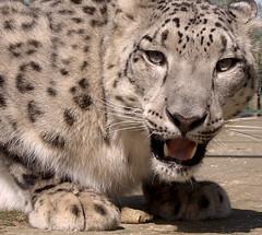 Looking at me (luns_spluctrum) Tags: kent interestingness interesting fuji leopard finepix s5000 fujifilm snowleopard fujifinepix naturesfinest smarden