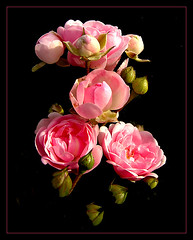 Hello, Again (Natascha) Tags: pink roses macro nature rose closeup photoshop bravo soft searchthebest quality top10 excellence novideo i500 brezndieb abigfave