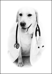 Dr. Ramona (WisDoc) Tags: dog smart canon bravo labrador yellowlab quality medical doctor medicine ramona stethoscope magicdonkey wisdoc 123bw