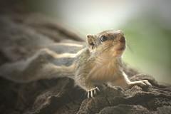 Indian Palm squirrel (I think) (hvhe1) Tags: india nature animal animals squirrel wildlife hennie sariska eekhoorn hvhe1 hennievanheerden