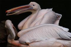 Funny pelicans 8 (Elli-pixx) Tags: fish pelicans birds animals ilovenature nikon d70 stealing bestones elliwinter ellipixx copyrightbyelliwinter