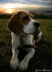 Miss Elli (julesjena) Tags: dog chien beagle beautiful lady weekend walk every hund top20dogpix 5bestdogs