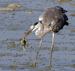 Grey heron Eating fish II (dawey [Mohammad Alhameed]) Tags:  picturecollection vwc   kuwaitvoluntaryworkcenter  photovwc kuwaitvwc