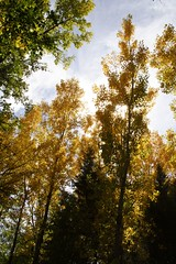 Trees of Fall (JoelDeluxe) Tags: newmexico fall colores september nm joeldeluxe southvalley greenchile