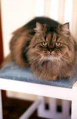 This chair is mine! (Rodrigo Neves - Catching up with your great work s) Tags: film cat persian fuji superia zenit helios kissablekat
