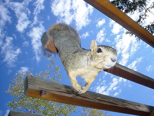 Squirrel - Superman tryouts???