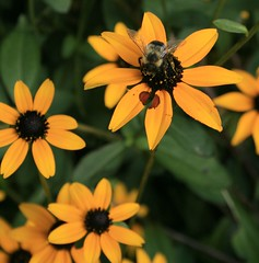 McCoy Park  Black Eyed Susan (christaki) Tags: blackeyedsusan mccoypark