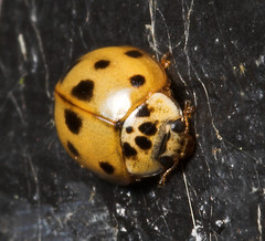 """10-Spot Ladybird (Adalia 10-punctata) • <a style=""""font-size:0.8em;"""" href=""""http://www.flickr.com/photos/57024565@N00/265025530/"""" target=""""_blank"""">View on Flickr</a>"""