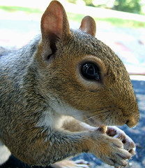 McSquizzle! (shesnuckinfuts) Tags: nature animal backyard squirrel wildlife peanut furryfriday coolest animalplanet kentwa sciuruscarolinensis easterngraysquirrel october2006 animaladdiction abigfave shesnuckinfuts