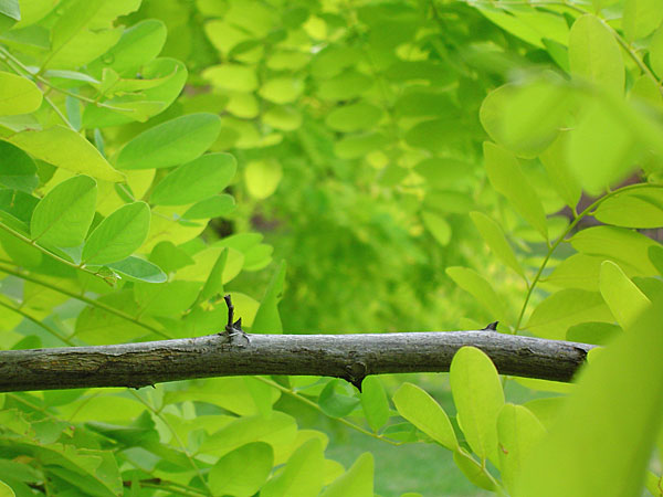 Latrobe foliage