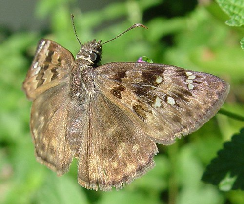 "Horace's Duskywing Skipper ""Erynnis horatius"""