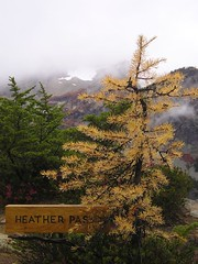 Heather Pass Larch
