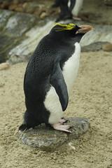 Penguin (Matt Browne) Tags: bird 350d zoo penguin kitlens devon torquay livingcoasts