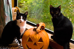 Happy Halloween from Minnie and Remi! (The Cat's MeOM) Tags: cats white black halloween window cat blackcat pumpkin kitten chat all jackolantern kitty kittens 2006 tuxedo gato katze minnie tuxedocat gatto remi happyhalloween gatinho gatito chaton gattino katzchen