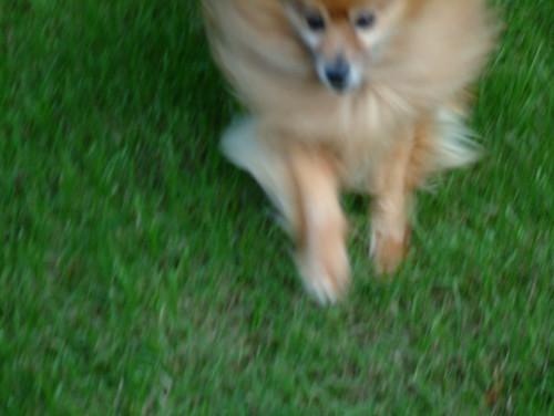 a Pomeranian dog, running toward the camera