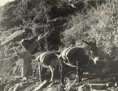 Taking grain to the lowlands, probably 1938 (_seb) Tags: lesotho maseru morija hansschmoller