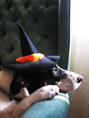 why dogs are better than people: (jamelah) Tags: dog halloween hat costume witch sweetpea witchshat dogincostume utataboo