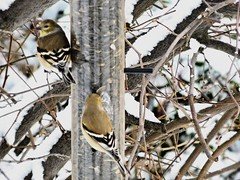 image (proulxrita) Tags: bird finch feeder cold snowy