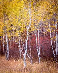 Aspens (Images by William Dore) Tags: trees tree autumn aspens wyoming grandtetonnationalpark colours colors nikon usa landscape outdoors outside autumnal nikondf