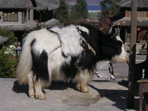 Long Hair Cattle in Dali The local