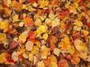101_7055 (Cassiopée2010) Tags: cévennes nature feuille automne