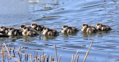 Following Mum. (pstone646) Tags: geese goslings egyptiangeese nature birds water reflections line animals fauna lake ashford babies kent wildlife waterfowl wildfowl