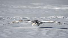 DSC_4149 (Pixelpics1) Tags: snowyowl bird owl