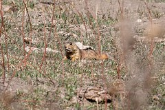2017 Black-tailed Prairie Dog 3 (DrLensCap) Tags: la hacienda de los martinez historic ranch taos new mexico blacktailed prairie dog nm mammal squirrel rodent animal robert kramer
