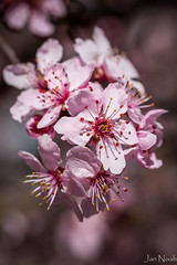 Pretty In Pink (J Noah) Tags: pinkflowers plumblossoms