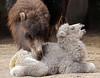 camel Amersfoort BB2A4596 (j.a.kok) Tags: kameel camel babycamel amersfoort africa afrika asia azie animal mammal zoogdier dier herbivore babykameel eddy freya