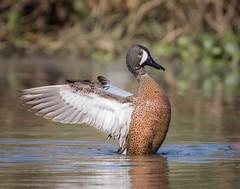 Duck Rise (gseloff) Tags: bluewingedteal bird duck nature wildlife animal water bayou horsepenbayou pasadena texas kayak gseloff