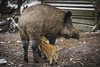 Mommy wait, we're hungry! (samael_87) Tags: wildschwein wild boar wildpark gangelt canon eos 80d efs 55250mm is stm f456