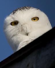 Oh! Hi there! (Dan Demczuk) Tags: snowyowl dandemczuk canon buboscandiacus 7dmkii nature wildlife aves bird
