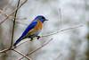 blue bird 6762 (Gerald F. Ward) Tags: westernbluebird americanriverparkway