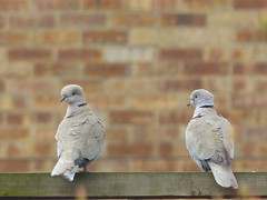 collared dove pair at rest (river crane sanctuary) Tags: birds collared doves river crane