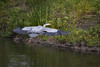 Great Blue Heron (Ardea herodias) (Don Dunning) Tags: animals ardeaherodias birds california canon7dmarkii canonef100400mmisiiusm elliscreekponds greatblueheron heron petaluma unitedstates water